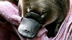 Cette photo prise en 2006 montre un bébé ornithorynque né au Zoo de Taronga. La Taronga Conservation Society a décidé de créer son propre refuge d'ornithorynques alors que l'espèce fait maintenant face à une extinction imminente d'ici quelques décennies.