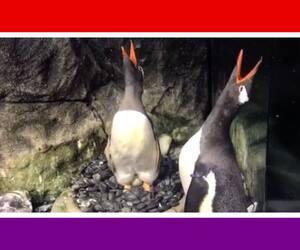 Image principale de l'article Des pingouins gais attendent leur deuxième enfant