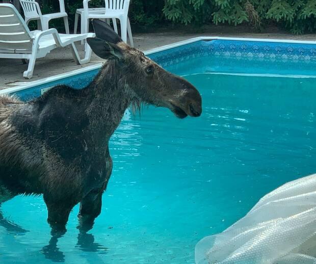 Image principale de l'article Ils trouvent un orignal adulte dans leur piscine