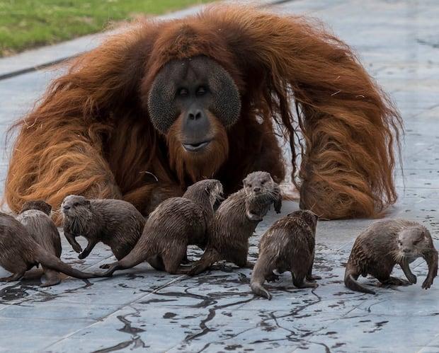 Image principale de l'article Des orangs-outans et des loutres jouent ensemble