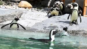 Image d'archives de manchots au zoo de Salzbourg, en Autriche.