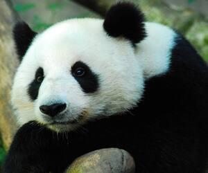 Image principale de l'article Le panda géant n'est plus menacé d'extinction