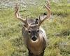 Près de 150000 chasseurs se retrouvent en forêt pour se mesurer au chevreuil chaque automne.