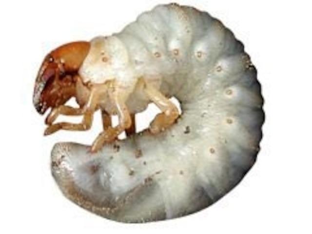 Larve de scarabée japonais.