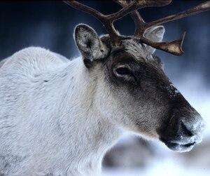 Le Zoo de Saint-Félicien s'est retiré du transfert des caribous en provenance de Val-d'Or dans ses installations.