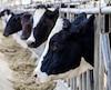 Vaches animaux de ferme élevage viande