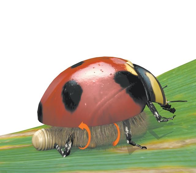 3. Au bout d'une quinzaine de jours - La larve s'extirpe de la coccinelle. Le virus qui loge dans son cerveau se met alors à contrôler son comportement. Il paralyse la bête à bon Dieu le temps que la larve rampe sous elle et tisse son cocon entre ses pattes. Il lui commande ensuite de rester sur le cocon pour le protéger des prédateurs, comme s'il s'agissait de sa propre progéniture.