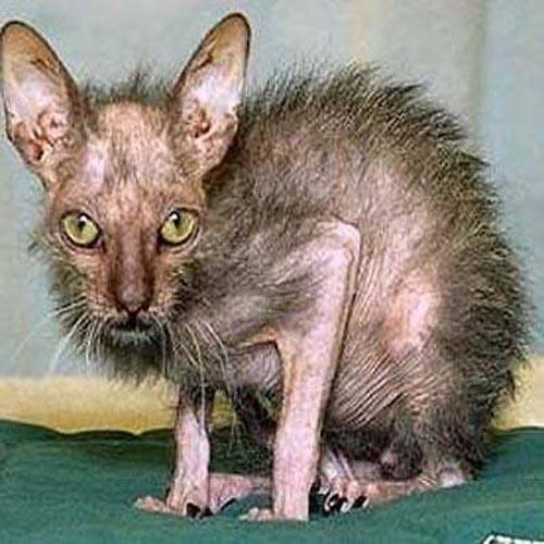Après Atchoum, découvrez les 20 chats les plus laids du web