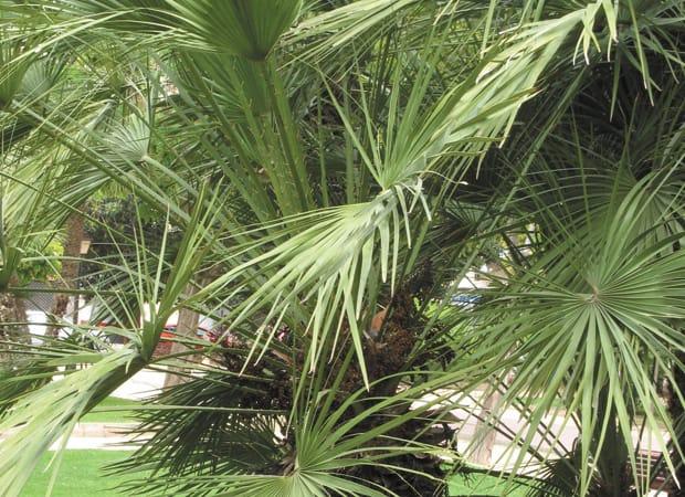 Un Palmier Sur Votre Terrasse Le Journal De Montreal