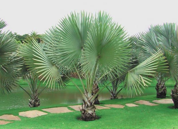 Palmier en pot exterieur filifera palmier de californie for Faux palmier ikea
