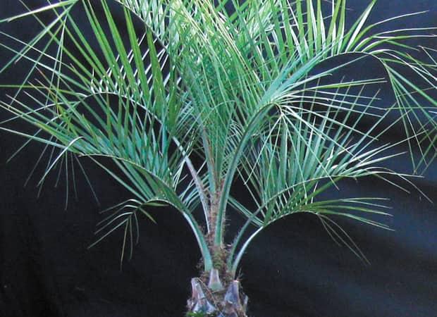 Un palmier sur votre terrasse le journal de montr al for Quel palmier en pot exterieur