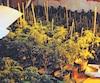 Le SPVM a saisi 977 plants de cannabis qui poussaient dans le sous-sol d'une maison de Rivière-des-Prairies, l'an dernier.