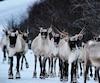 En 2017, Québec a tenté d'envoyer les caribous de Val-d'Or au Zoo sauvage de Saint-Félicien. Le projet a finalement été abandonné face à l'opposition écologiste.