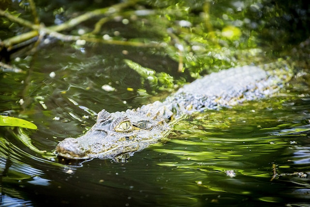 Le Costa Rica compte aussi bon nombre de crocodiles.