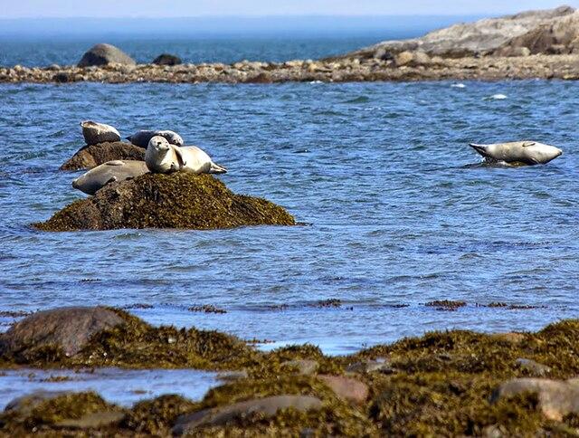 Ces phoques se réfugient au parc national du Bic, en Gaspésie.