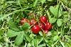Fruits tombant sur son terrain par centaines