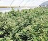 La production de marijuana enrichira-t-elle une poignée de barons?
