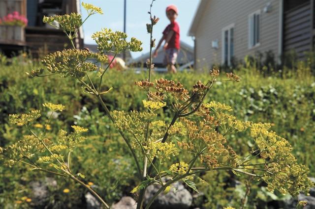 Le panais sauvage semble gagner du terrain à Québec. On trouve notamment cette plante tout le long de l'autoroute Laurentienne.