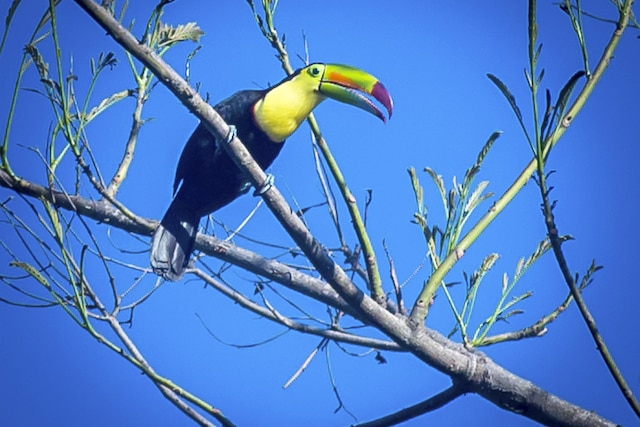 Pour apercevoir des oiseaux  colorés comme le toucan et l'ara  rouge, mieux vaut partir à leur  recherche tôt dans la journée.