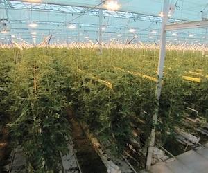 L'intérieur de cette serre de tomates de Mirabel sera transformé en grande production de cannabis d'ici le mois d'avril 2018.