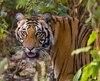 Un garde avait été tué en 2014 par un tigre dans ce même parc.