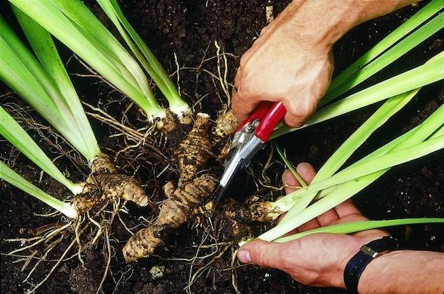 Appliquez ensuite du soufre en poudre sur les plaies et taillez les feuilles conservées de moitié
