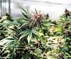 Le conseil mohawk de Kahnawake a adopté sa loi sur le cannabis, lundi soir, dans laquelle il instaure entre autres un système de licence pour les dispensaires et la production de marijuana qui s'ajoute a celles déjà rendues obligatoires par Santé Canada.