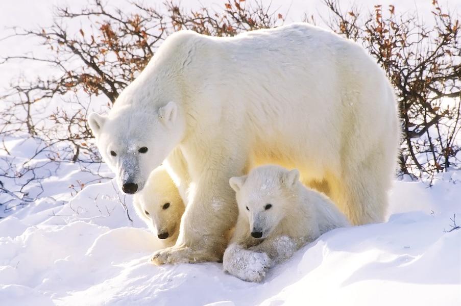Une ourse polaire apprend à ses petits à chasser sur la glace.