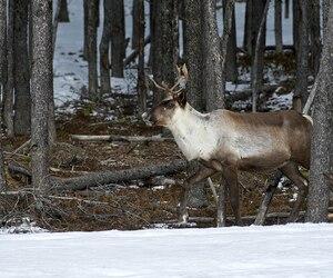 Les caribous forestiers ont besoin de grandes forêts relativement intactes pour se nourrir de lichens et se protéger des prédateurs. Il n'en resterait que 6500 à 8000 au Québec.
