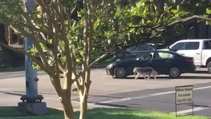 Il promène son chien en conduisant son auto