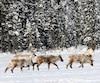 Ces caribous ont été photographiés à la pourvoirie Le Mirage à la Baie-James.