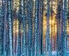 Forêt enneigée sous un soleil rasant l'horizon, un tableau typique des mois d'hiver.