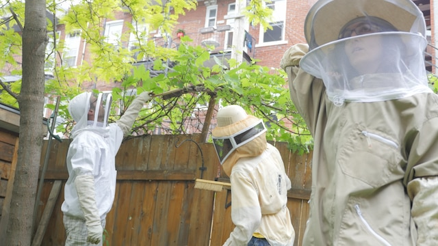 Malgré que les abeilles ne sont pas normalement agressives envers les humains, il est recommandé de porter de l'équipement de protection lors du processus de récolte d'un essaim comme le font ici  Wassili Dudan (gauche), Alexandre Beaudoin (centre) et Julie Belpaire (droite).