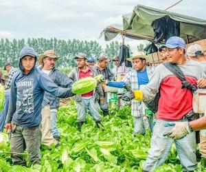 À l'instar de la ferme Riendeau de Saint-Rémi, en Montérégie, dont des employés récoltent de la laitue romaine sur cette photo, des centaines de fermes familiales québécoises comptent sur des travailleurs agricoles étrangers pour assurer leur survie.