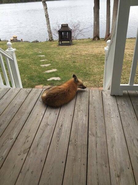 Trois renards viennent visiter quotidiennement la résidence d'un couple de retraités du Bas-Saint-Laurent.