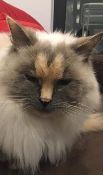 Image principale de l'article Un chat avec un pénis dans la face est à donner