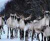 Les caribous du troupeau de la rivière aux Feuilles ne peuvent plus être chassés en raison du déclin de la population.