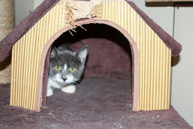 Un chaton abandonné attend patiemment une famille à la SPCA.