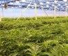 culture cannabis chanvre