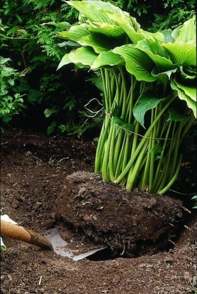 Si vous faites les travaux cet automne, n'hésitez pas à attacher le feuillage avec une corde ou à le couper carrément s'il vous empêche de bien voir ce que vous faites. Une fois la motte de racines sortie de terre, vous n'avez ensuite qu'à la couper en plusieurs pièces