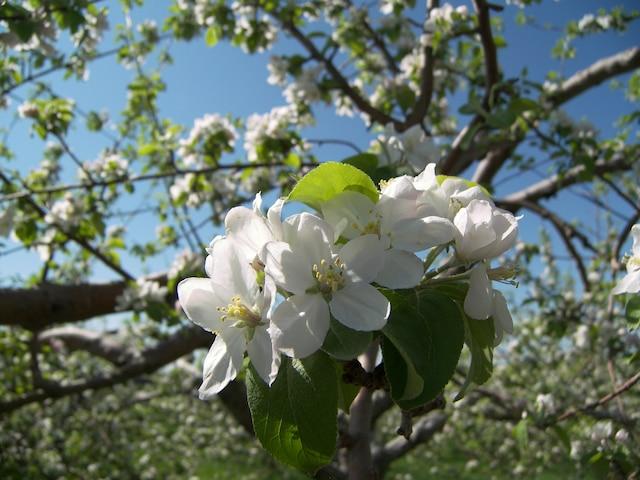 Cette semaine, les pommiers sont en fleurs dans la plupart des vergers de la Montérégie.