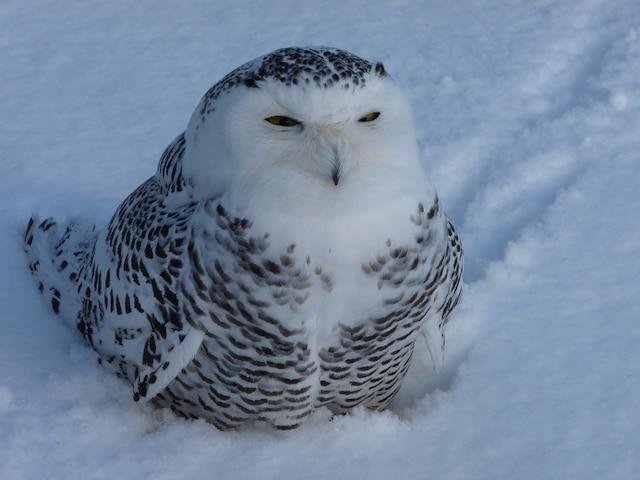 Le harfang des neiges avait la moitié du corps couvert de glace lorsque Raymond Dugas l'a découvert.