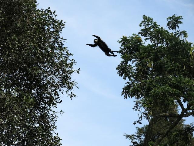 Un des nombreux singes colobes habitant le parc national de Nyungwe, au Rwanda.
