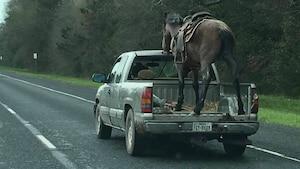 [VIDÉO] Il transporte un cheval dans son pick-up