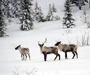 Chasse au caribou