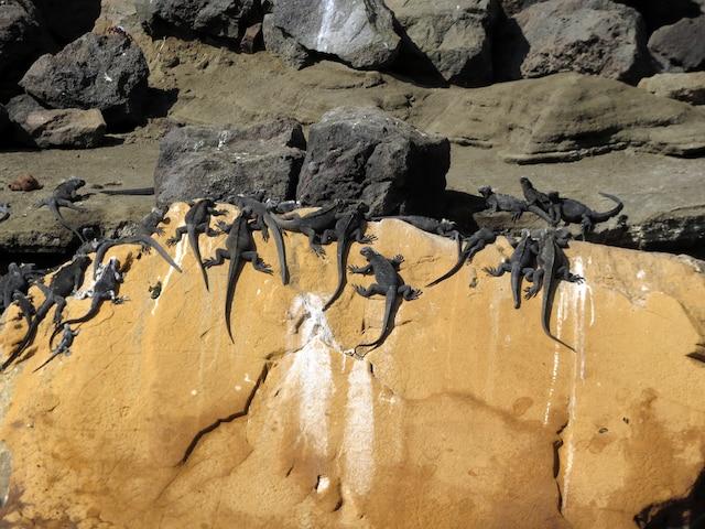Lézards des laves se chauffant au soleil.