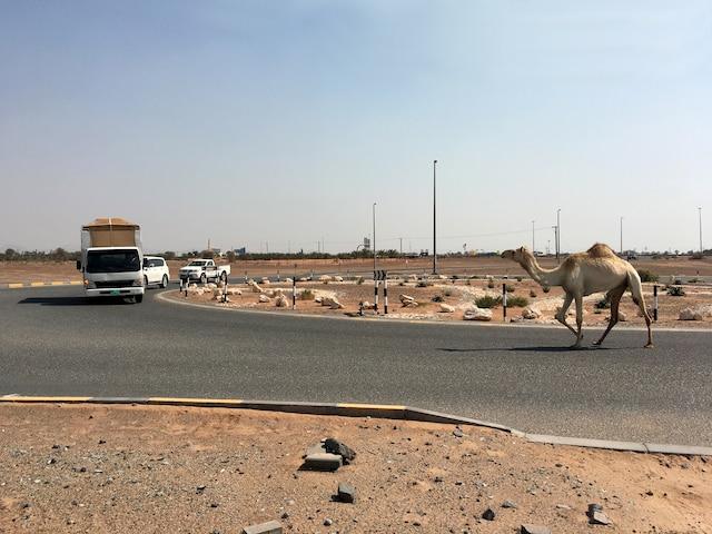Sur certaines routes secondaires des Émirats arabes unis, on croise parfois des dromadaires en liberté. La vigilance s'impose pour les voyageurs.