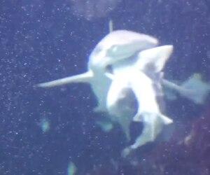 Image principale de l'article Un requin dévore un autre requin devant la foule