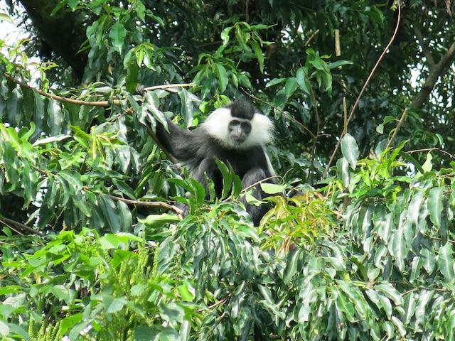 Un des nombreux singes colobes habitant le parc national de Nyungwe.