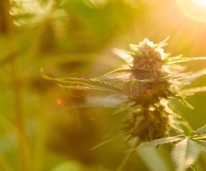Marijuana plant with flower, cannabis bud in golden summer light